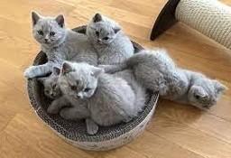 Fantastyczne kocięta brytyjskie krótkowłose