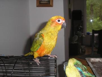 Papugi - Konury Słoneczne - ręcznie karmione!