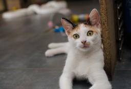 KOT: Mała Lukrecja z Miasta Kotów, w trzech kolorach, szuka domu