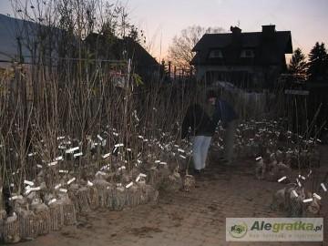 Drzewka, krzewy owocowe,  Warszawa Wawer