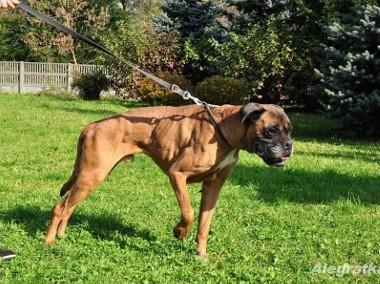 Maks - pies w typie boksera szuka domu!-1