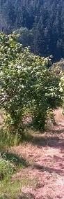 Krzenie i krzewy leszczyna wielkoowocowa barcelońska-3