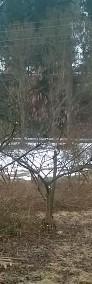 Krzenie i krzewy leszczyna wielkoowocowa barcelońska-4