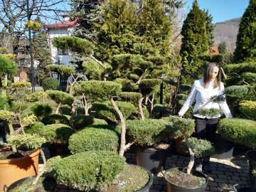 Sosna bonsai , bonsai ogrodowe ,NIWAKI - drzewa formowane do ogrodu  ,Katowice,Bielsko  , Żory, śląsk