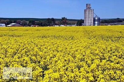 Ukraina. Ziarna rzepaku 1200 zl/tona, wysokobialkowa sruta, makuch