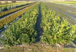Laurowiśnia Wschodnia 'Rotundifolia' 30-50cm Wysyłka - Sadzonka