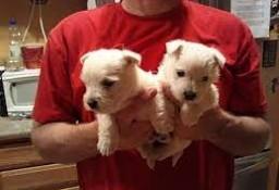 Dwa piękne szczenięta rasy Western Highland Terrier
